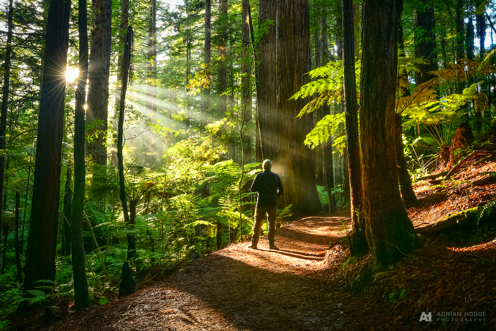A person standing in the Redwood Forest, with sunlight shining down upon them